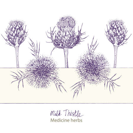 Set hand drawn of Milk Thistle, lives and flowers in black color isolated on white background. Retro vintage graphic design. Botanical sketch drawing, engraving style. Vector. Ilustração