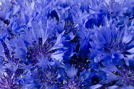 Beautiful blue cornflower flower background. Macro overview. Horizontal photo. Nature Romantic concept for wedding, birthday template card design. Summer relax wallpaper Medicinal plant Imagens