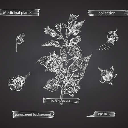 Set hand drawn of Belladonna, lives and flowers in white color isolated on chalkboard background. Retro vintage graphic design. Botanical sketch drawing, engraving style. Vector.