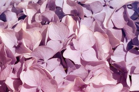 Pink hydrangea Fine Art Floral Natural Textures. Portrait Photo Textures. Digital Studio Background, Best for cute family photos, atmospheric newborn designs Overlays. Imagens