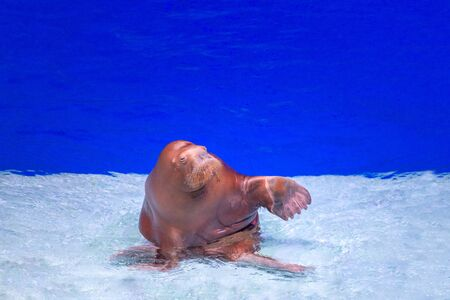 Happy funny walrus is in the aquarium in water. Walrus is waving paw. Wild animals at the water zoo. Animal training Banque d'images