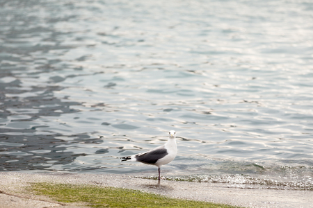A seagull searching for food by the water