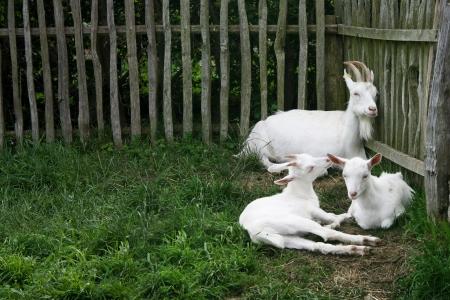 tre capre bianche