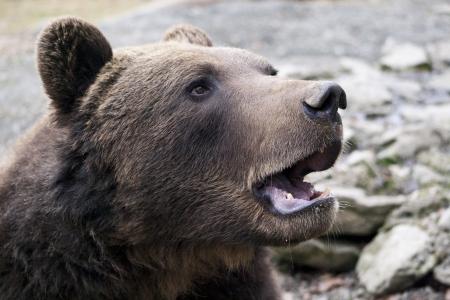 orso bruno ritratto