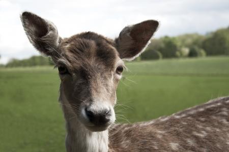 female fallow deer  dama dama  Stock Photo