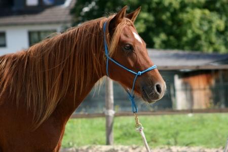 quarter pony portrait
