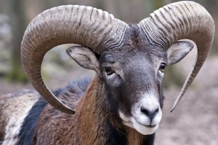 animal ram: mouflon ram portrait