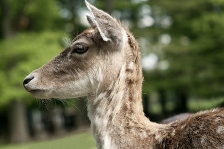 fallow deer: female fallow deer  dama dama  Stock Photo