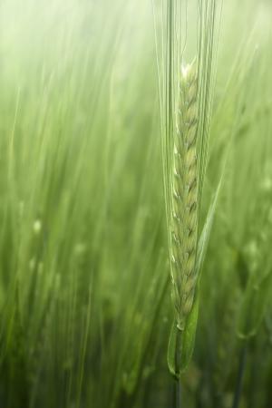 young barley  Hordeum vulgare