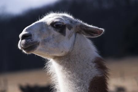 llama portrait photo