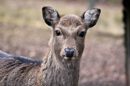 female sika deer Stock Photo
