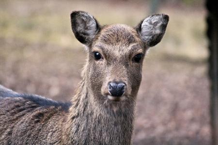 femmina cervo sika