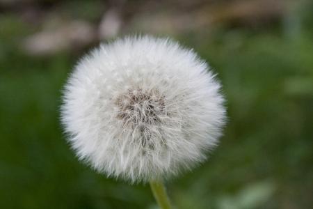 dandelions head