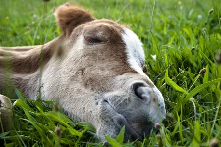 sleeping quarter horse foal