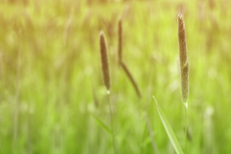 wild grass in the evening sun