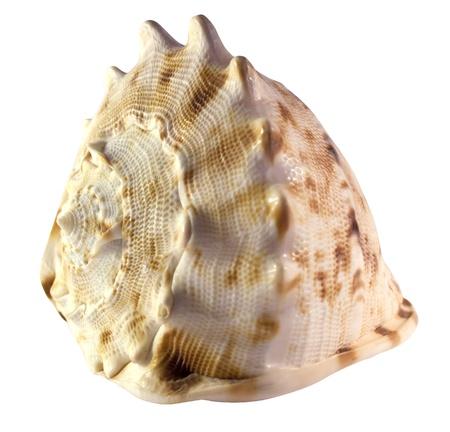 Shell of a Helmet Snail (Cassis Cornuta) Stock Photo