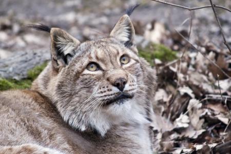 european lynx portrait