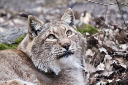 european lynx portrait
