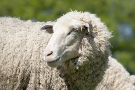 testa di una pecora di lana bianca