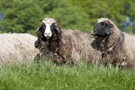 gruppo di nero  marrone  bianco di pecora Archivio Fotografico