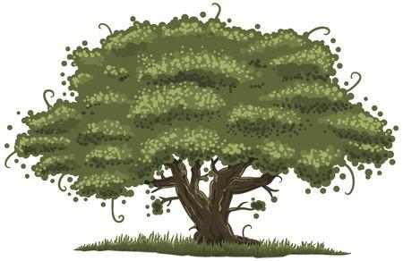 foglie di quercia: illustrazione di una vecchia quercia
