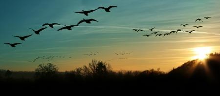bandada pajaros: bandada de gansos canadienses migran volando al atardecer en una formación de V