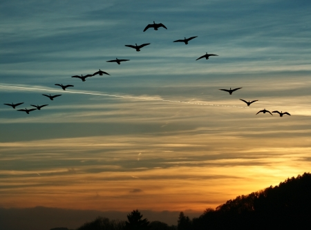 migrations: flock of migrating canada geese flying at sunset in a V formation