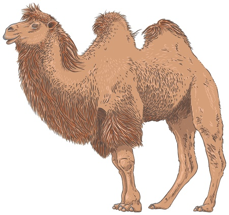 camel hump: Camel Isolated Vector Illustration