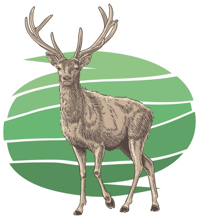 red deer: Red Deer Vector Illustration
