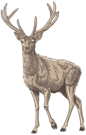 buck: Red Deer Isolated Vector Illustration