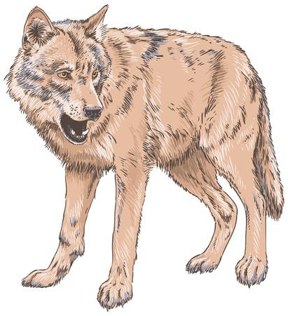 Wolf Isolated Vector Illustration Illustration