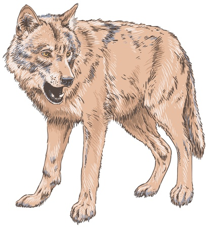 carnivores: Wolf Isolated Vector Illustration Illustration