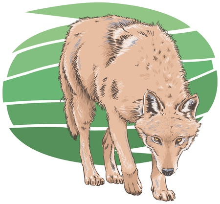 Wolf Vector Illustration Illustration