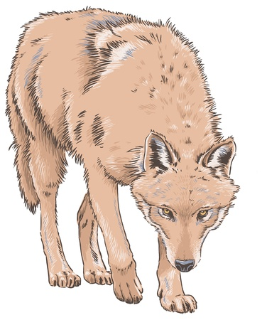 Wolf Isolated Vector Illustration Illustration