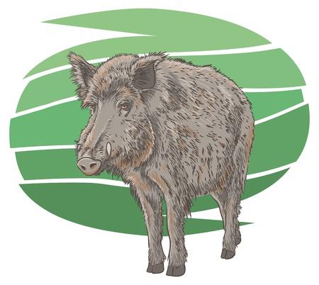 eber: Wildschwein Illustration Illustration