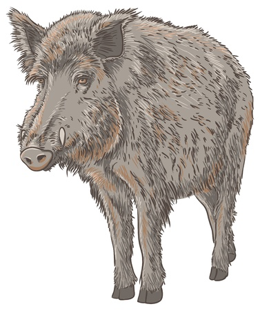 Wild Boar Isolated Illustration
