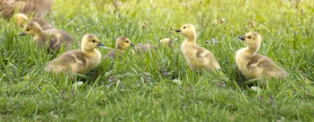 canada goose: group of recently hatched canada goose goslings
