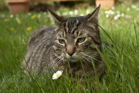 gatto di casa che giace in erba di primavera Archivio Fotografico