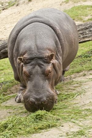 amphibius: Large Grazing Hippopotamus  Hippopotamus amphibius
