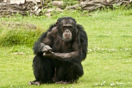 troglodytes: Male Chimpanzee  Pan troglodytes  guarding his community