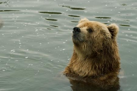 Ritratto di un orso Kodiak Ursus arctos middendorffi nell'acqua