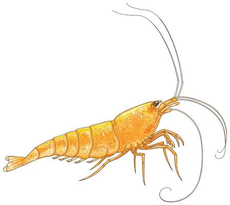 Orange Sakura vector illustration Illustration
