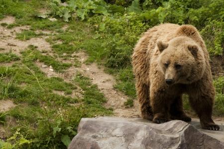 arctos: Kodiak Bear (Ursus arctos middendorffi) in piedi su una roccia
