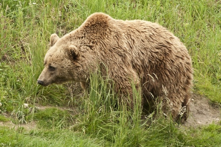 Kodiak Bear (Ursus arctos middendorffi) pacing through high grass
