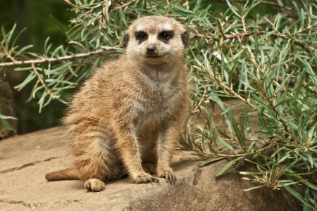 suricatta: meerkat standing guard on a stone