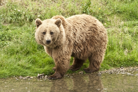Kodiak Bear standing at the waterside