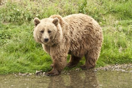 Kodiak Orso in piedi a riva