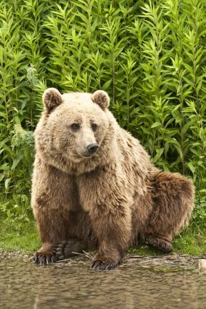 Kodiak Bear sitting on his hind legs