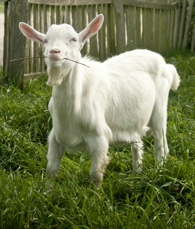 yeanling: Cute white goat yeanling