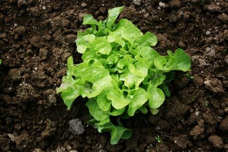 lactuca sativa: Young Curled Lettuce  Lactuca sativa L   Stock Photo